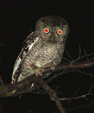 night-owl.jpg.jpeg