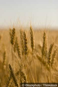 Monsanto wheat 2 2